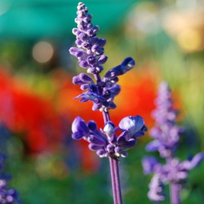 Salvia Mixed