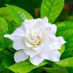 Gardenia-Double-Cover-150x150 Fabulous Fragrances