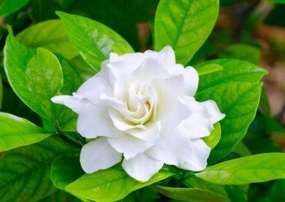 Gardenia-Double-Cover-400x284 Fabulous Fragrances
