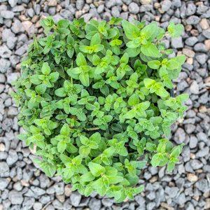 Oreganum – Oreganum vulgare 17cm