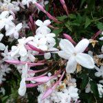 Jasminium pylyanthum