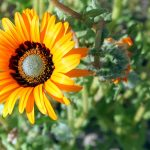 Namaqualand-daisies-150x150 What To Do in Your Garden in March
