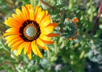 Namaqualand-daisies-400x284 What To Do in Your Garden in March