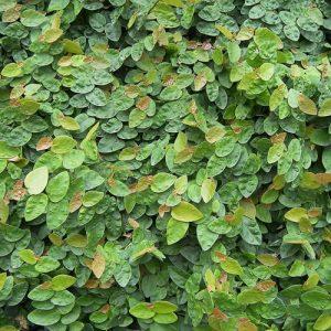 Ficus Pimula
