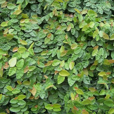 creeping-ficus-pimula-400x400 OUTDOOR PLANTS