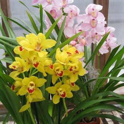 Cymbidium Varieties