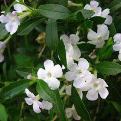 Freylinia Tropica White