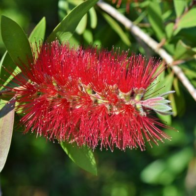 Callistemon varieties