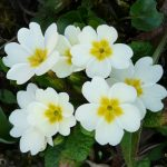 primula-schlusselblume-49782_1920-150x150 What To Do in Your Garden in March