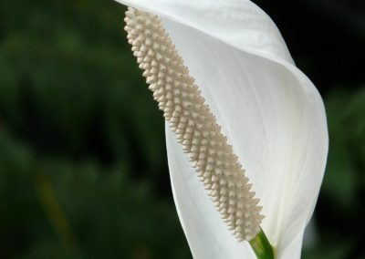 spathiphyllum-53063_1920-400x284 Detoxify Your Home