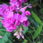 sweet-pea-scented-2766022_1920-150x150 What To Do in Your Garden in March