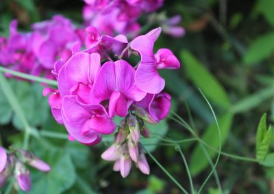sweet-pea-scented-2766022_1920-400x284 What To Do in Your Garden in March