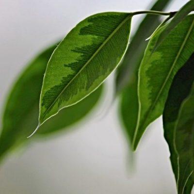 weeping-fig-e1552466123412-400x400 Indoor Plants