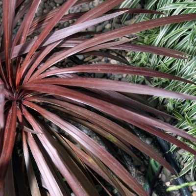 Cordyline Red Sensation