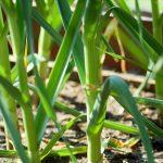 Garlic-Plant-Nature-Flower-Bed-Garlic-Plant-Garden-2338086-150x150 GARLIC