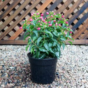 Fuchsia Hybrid 17cm pot