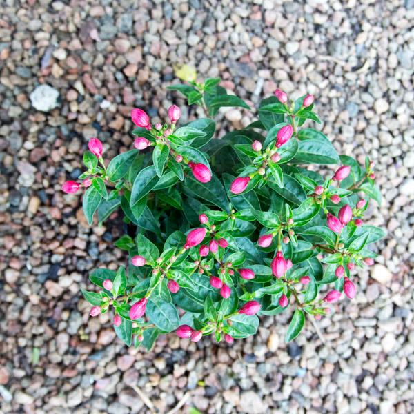 Fuchsia Hybrid 3