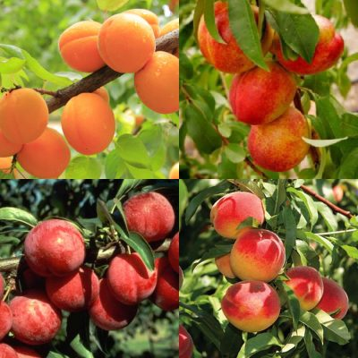 Fruit Tree Selection