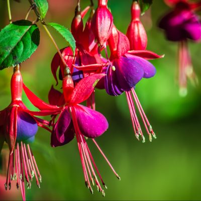 Fuchsia assorted varieties
