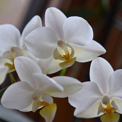 Phalaenopsis -Moth Orchid 12cm