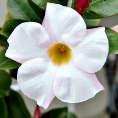 Dipladenia Bella White