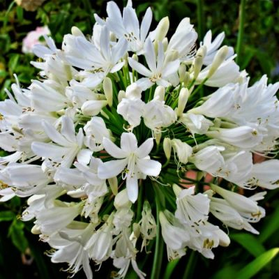 Agapanthus-africanus-Álbus-e1558075024530-400x400 Green Friday Specials