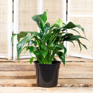 Peace Lily – Spathiphyllum wallisii 15cm
