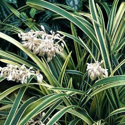Ophiopogon jaburan 'Vittatus'