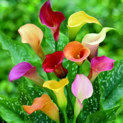 Zantedeschia assorted colours