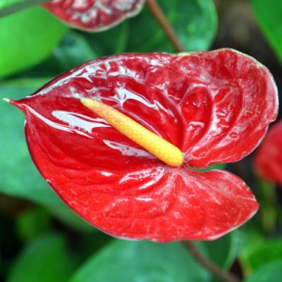 Anthurium Red & Pink