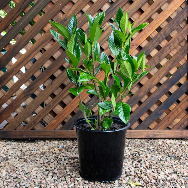 30000500 - Gardenia jasminoides 17cm