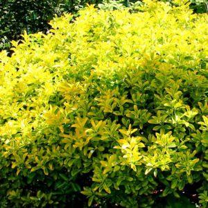 Euonymus japonicus microphyllus 'Gold Dust' 17cm