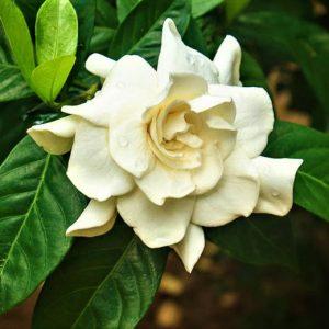 Gardenia jasminoides 17cm