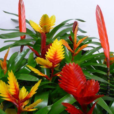 Vriesea mixed colours 12cm