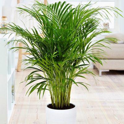 Areca bamboo 14cm