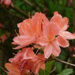 azalea-4229236-150x150 What to do in your garden in June