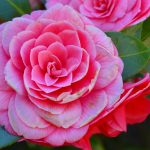 camellia-2182851-150x150 What to do in your garden in June