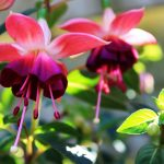 fuchsias-4189193-150x150 What to do in your garden in June