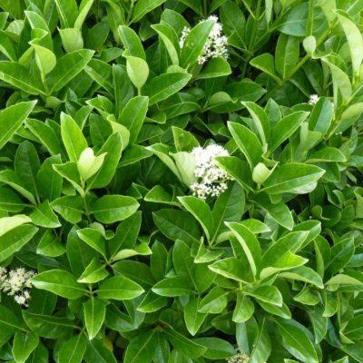 Viburnum Odoratissimum 17cm