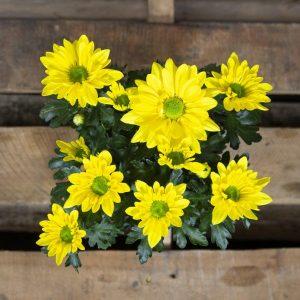 Chrysanthemum variety 15cm