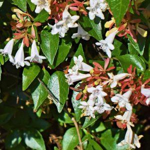 Abelia grandiflora 4L