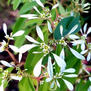 Euphorbia 'Euphoric White' 17cm