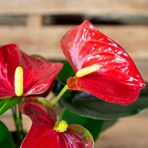 Flamingo Plant – Anthirium x hybrid 14cm