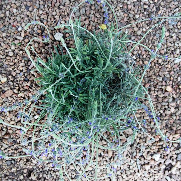 """Lavender - Lavandula """"Margaret Roberts""""2"""