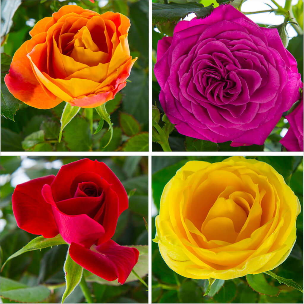 Roses Category
