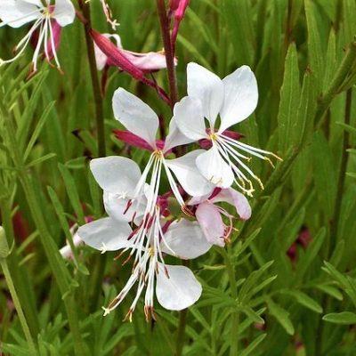 Gaura white and dark pink
