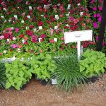 Herbelicious hedge pot