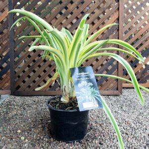 Agapanthus Zambezi 23cm pot