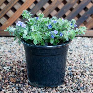 Evolvulus 'Blue My Mind' – dwarf morning glory 17cm pot