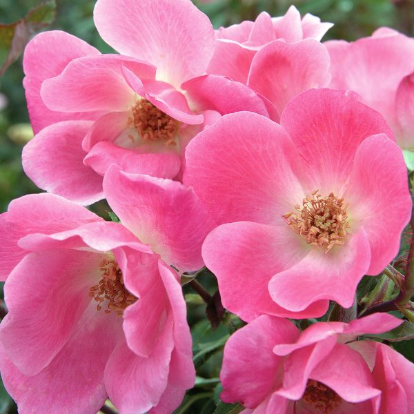 Pink_Knock_Out_Rose